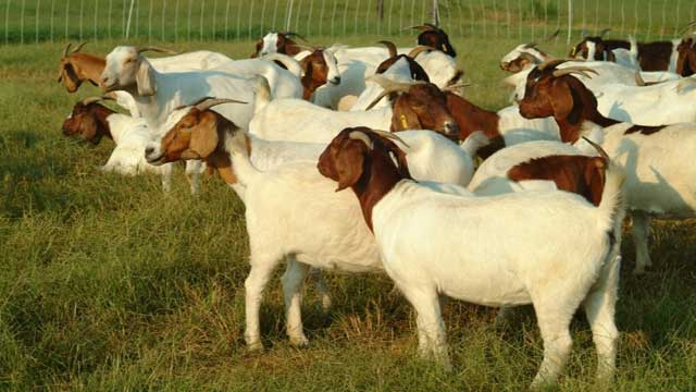 Critical Situation of Goat Development in Indonesia