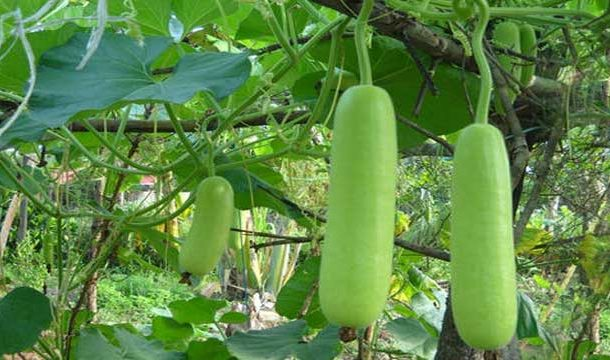Bottle Gourd: An Anti-Anxiety Plant