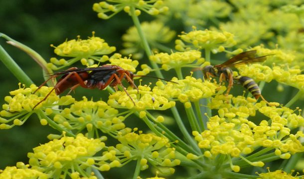 Future of Insectary Plants in Conservation Biological Control (CBC)