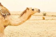 Explaining Camel Adaptability through Its Genome