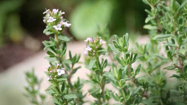 Determination of Allelopathic Impact of Artemisia and Thyme