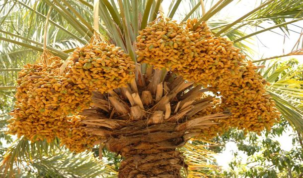 Somatic Embryogenesis: Novel Approach for Propagation in Date Palm?