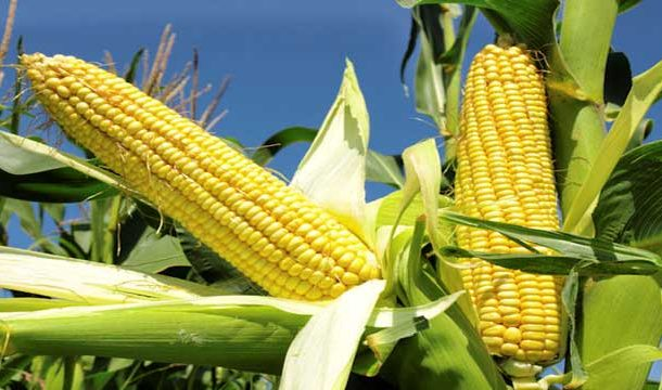 Evaluation of Nutritional Composition of Maize in Benin