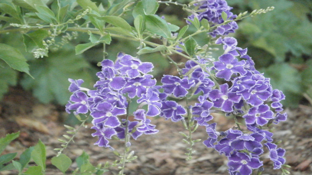 Evaluation of Appropriateness of Sky Flower Against Malnutrition