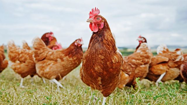 Viral Bacterial Genes Causing Poultry Diseases