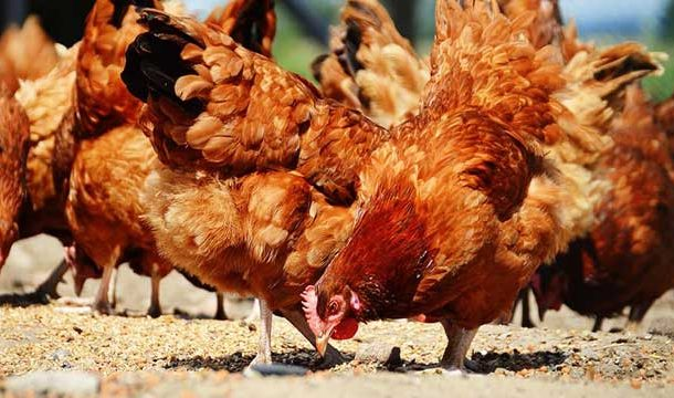 Nutritional Fortification of Eggs by Improving Hens' Feed