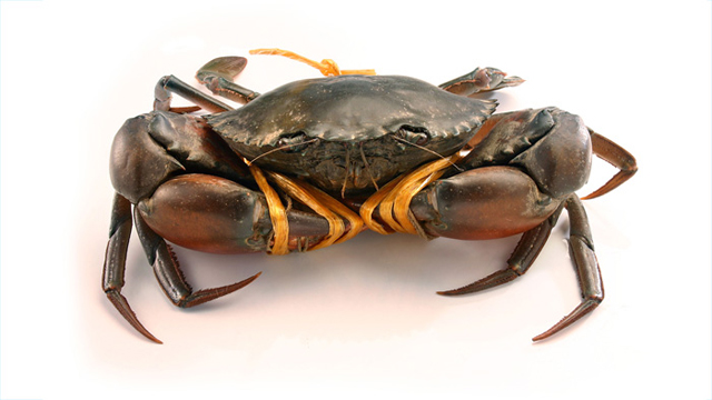 Optimum Rearing Conditions can stop Cannibalism in Mud crabs