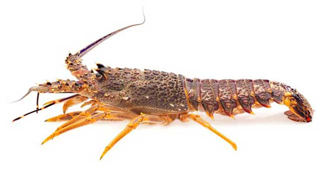 Assessment of Histological Characteristics of Testes in Mud Spiny Lobster