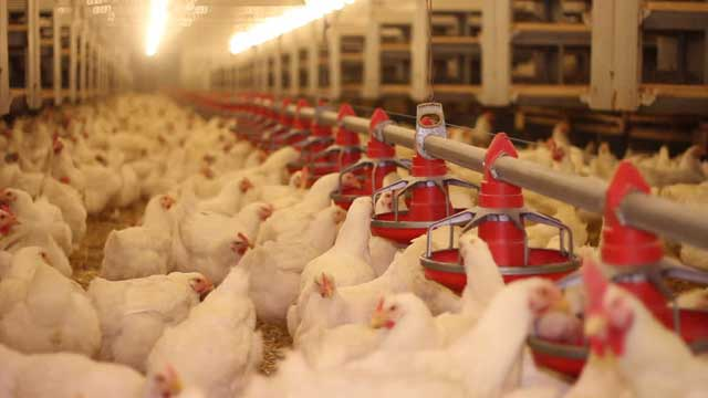 Examination of the Diversity of Intestinal Bacteria in Broilers