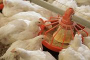 Ochratoxins: Carcinogenic Compounds in Poultry Feed