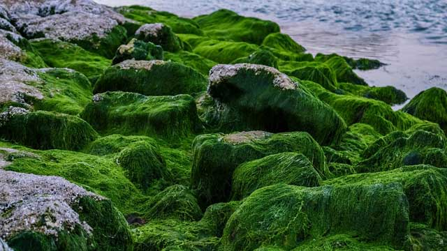 Potassium Nitrate Concentration Improves Growth of Green Algae
