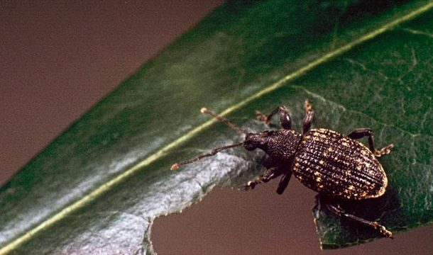 Assessment of Resistance level Among Sorghum Varieties Against Weevil Attack