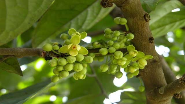 Keppel Fruit Plant: Reservoir of Flavonoids