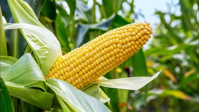 Evaluation of Amelioration Impacts of Silicon on Maize