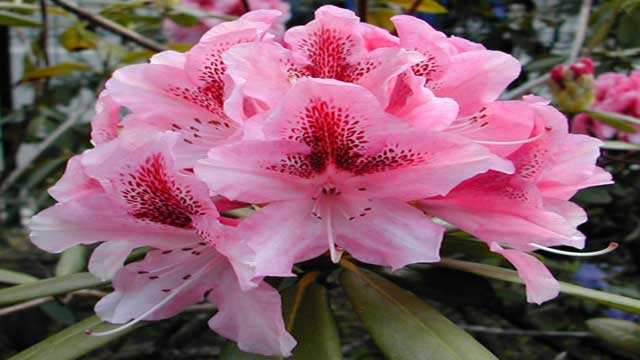 Photoperiod is Interlinked with Seed Germination in Rhododendron SP.?