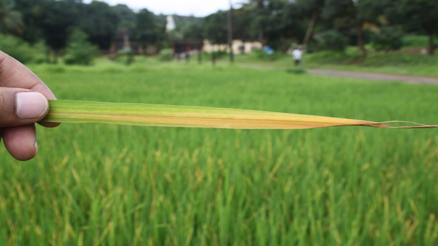Plant Spacing in Paddy can Affect its Yield?
