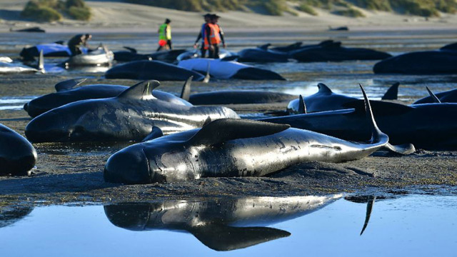 145 Whales Died on New Zealand Beach