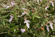 Evaluation of taxonomic relations and genetic diversity among Teucrium species