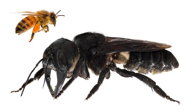 The Record Breaking Largest Bee Located Alive