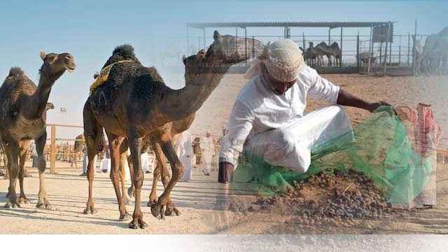 Camel Waste Used in Cement Production in Northern UAE