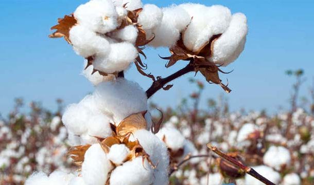 Cotton Crop Assessment Committee Dragged Down Estimated Cotton Output by 24.2%