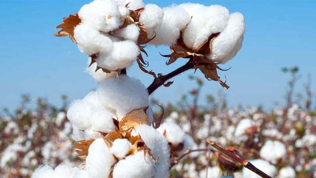 Cotton Prices have Risen to a new High of Rs. 700 per Quintal