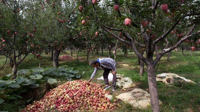 Kashmiri Apple Growers Suffer Record Millions Of Dollars Losses