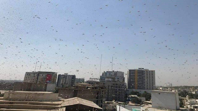 Locust Outbreak in Karachi Badly Disrupts Lives
