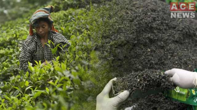 Pakistan Becomes World's Largest Importer of Kenyan Tea