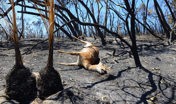 Over 1 Billion Animals Feared Dead in Australian Bushfire