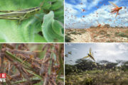 Locust Swarms-A major Infestation in Asia and Africa