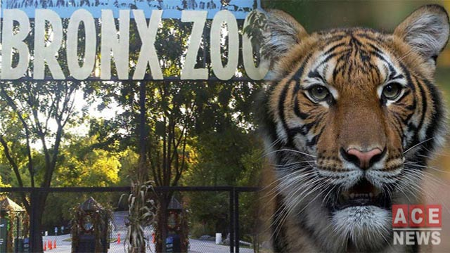 Bronx Zoo Tiger Tests for Coronavirus Positive, Officials Say
