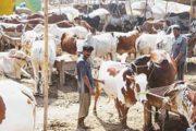 SOPs Issued for Cattle Markets in Sindh