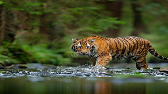 An Increase in the number of rare tigers in five countries