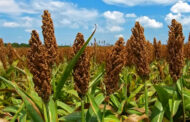 Sorghum production is being hampered by the parasitic weed and water shortage