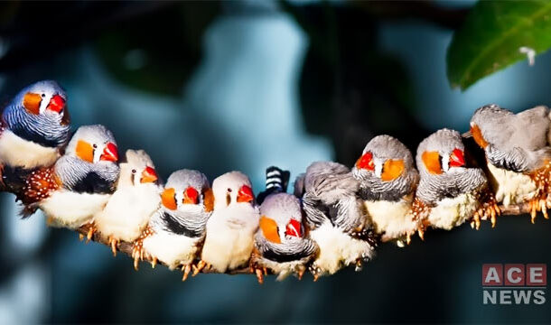 Zebra Finch Unmask Fellow Mates with Vocalization