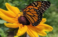 Information About Life History of Butterflies Helps to Work Out New Conservation Strategies