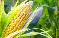 Intercropping System - An Intelligent Way to Enhance Productivity of Maize