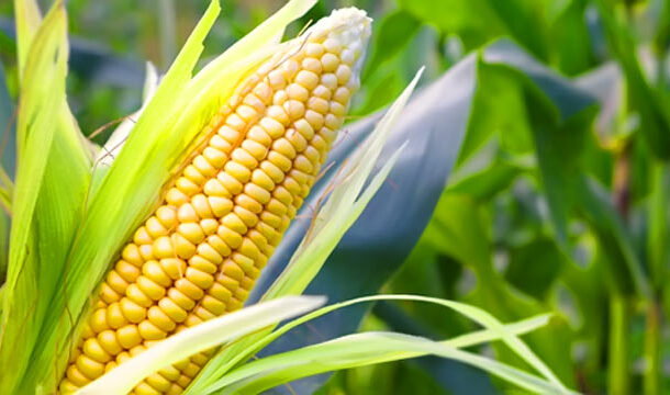 Detection of Superior Maize Accessions in Terms of Growth and Yield Traits in Nigeria