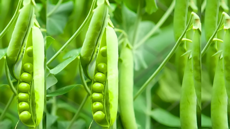 Water Stress Extensively Diminishes the Performance of Pea Plant