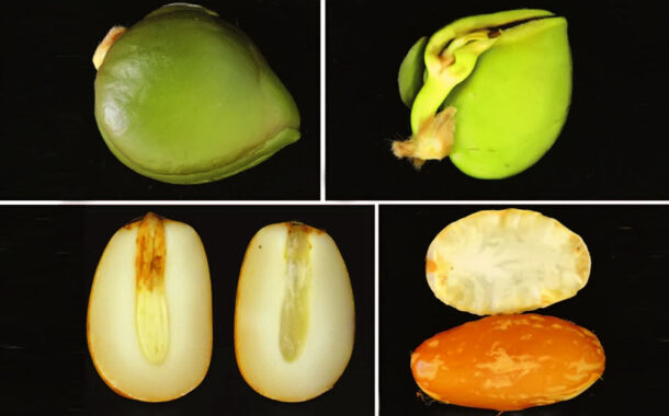 Storage of Rubber Recalcitrant Seeds has Become a Challenge for Scientists