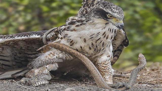 Watch: Red-Tailed Hawk Preyed the Venomous Rattlesnake