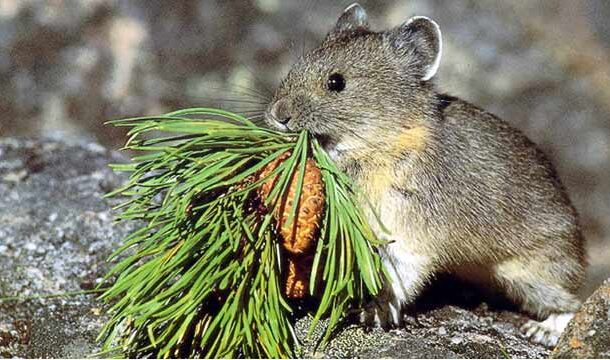 Watch: How Little Pika Prepare for Winters