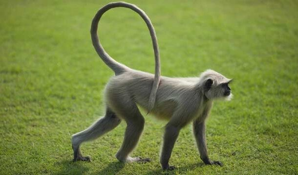 Phenotypes of Long-Tailed Monkeys Fed With High Energy Diet