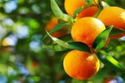 Pakistan Exported Record 460,000 Tonnes Oranges