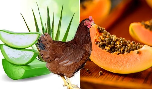 Aloe Vera and Papaya could be used to Combat Coccidiosis and Improve Chicken Health