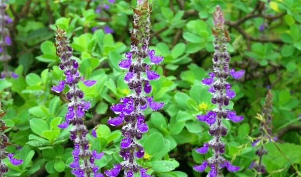 Growing Altitude Reduces the Antibacterial Activity of <i>Coleus forskohlii</i>