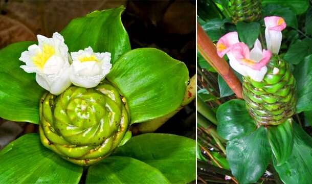 <i>Costus afer</i> Contains Strong Antiplasmodial and Antioxidant Properties