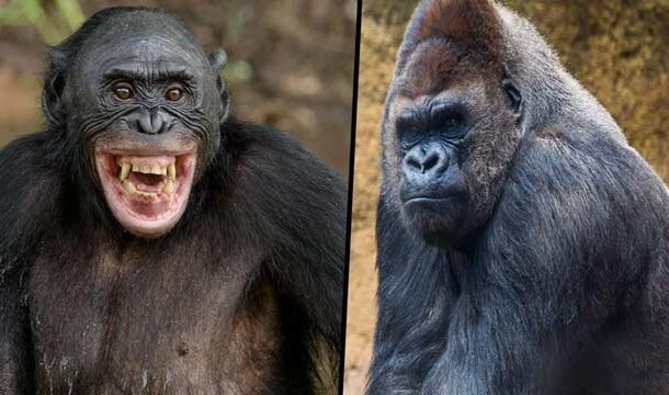 First Observed Interspecies Killing of Gorillas by Chimpanzees